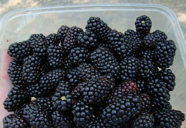 Пластиковая емкость со спелыми ягодами садовой ежевики черного окраса