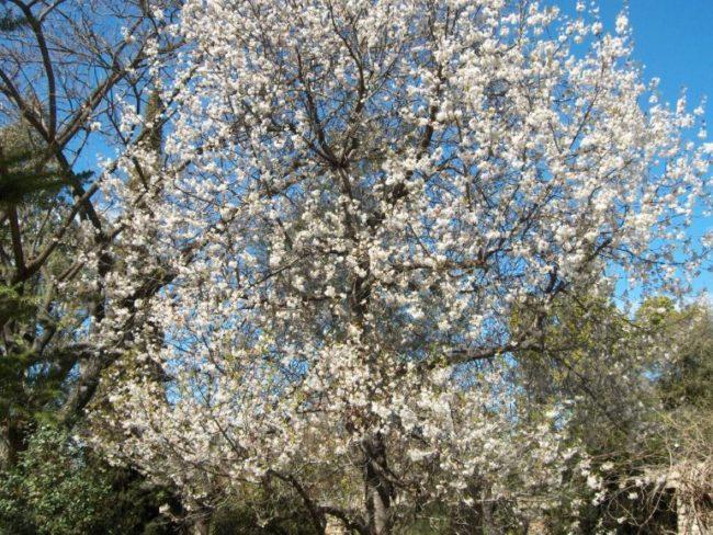 Белые цветки на ветках высокого дерева сливы в начале весны
