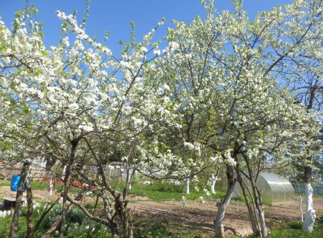 Обильное цветения сливовых деревьев на небольшом дачном участке