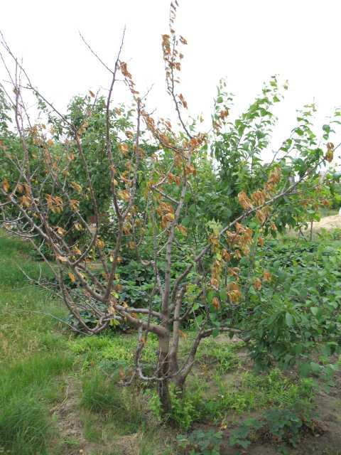 Засыхание взрослого дерева плодовой сливы на дачном участке