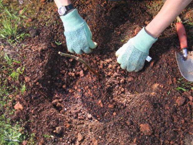 Уплотнение грунта вокруг саженца ежевики при весенней посадки