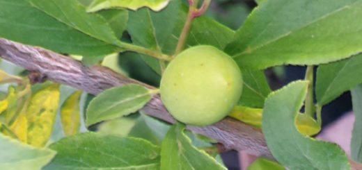 Зелёный плод сливы алычи сорта Подарок Санкт-Петербургу на дереве