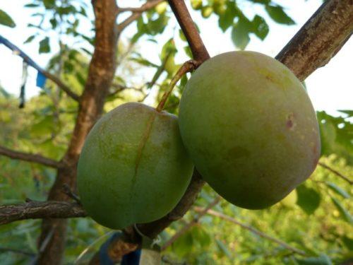 Два крупных плода зеленой окраски на ветке сливы гибридного сорта Ника