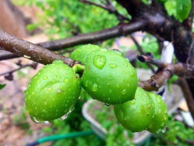 Зеленые плоды слибрикоса на ветке пятилетнего дерева в середине июля