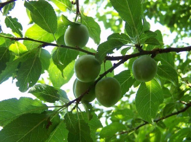 Ветки сливового дерева с плодами зеленого цвета в середине лета