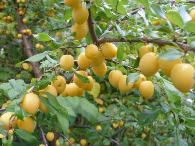 Наклоненные ветки диплоидной сливы с овальными плодами желтого цвета