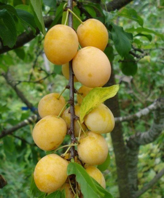 Ветка сливы с желтыми плодами овально-вытянутой формы с небольшим восковым налетом
