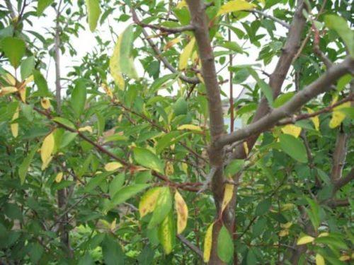Желтые листья на деревце сливы в конце весны при хлорозе