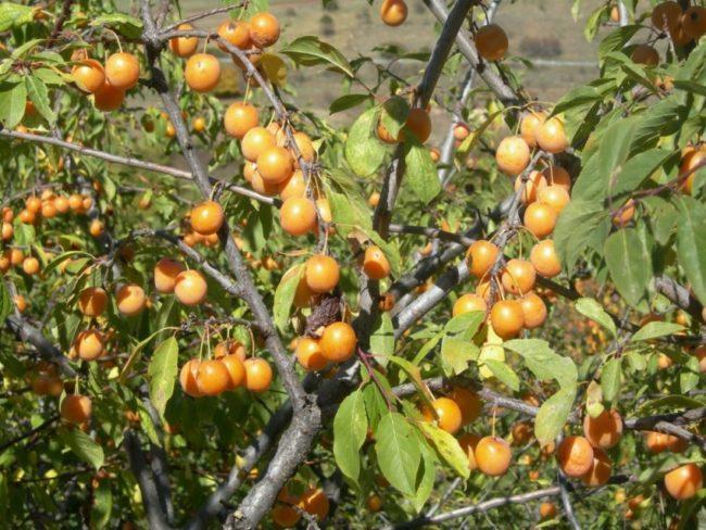 Молодое деревце сливы с желтыми плодами в период съемной спелости