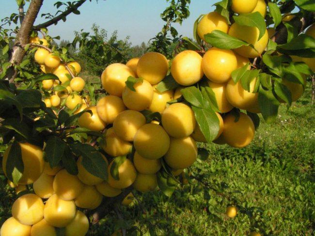 Ветка сливового дерева с шаровидными плодами желтого цвета