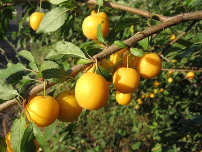 Крупные плоды сливы ярко желтого цвета на ветке взрослого дерева