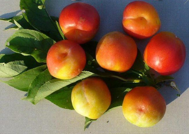 Плоды сливы сорта Жемчужина Урала с видимым шовчиком на поверхности
