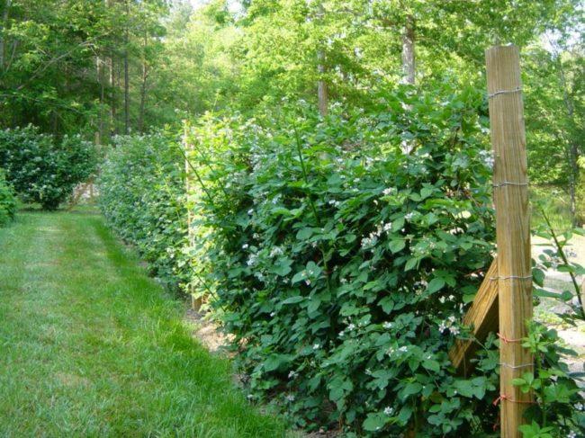 Проволочная шпалера с деревянными столбами для выращивания ежевики