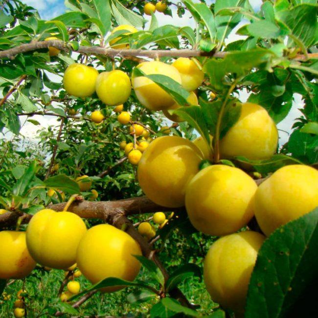 Шаровидные плоды сливы сорта Злато скифов желтой окраски