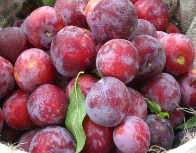 Спелые сорванные плоды сливы сорта Гармония