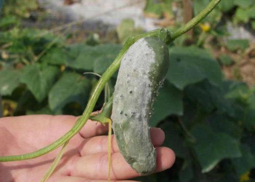 Плод огурца с типичными признаками заражения белой гнилью