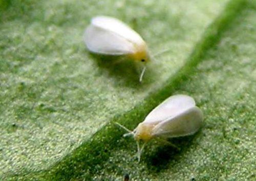 Мелкие мотыльки белокрылки на нижней стороне огуречного листа