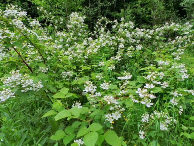 Белые цветки на прошлогодних ветках куста прямостоячей ежевики