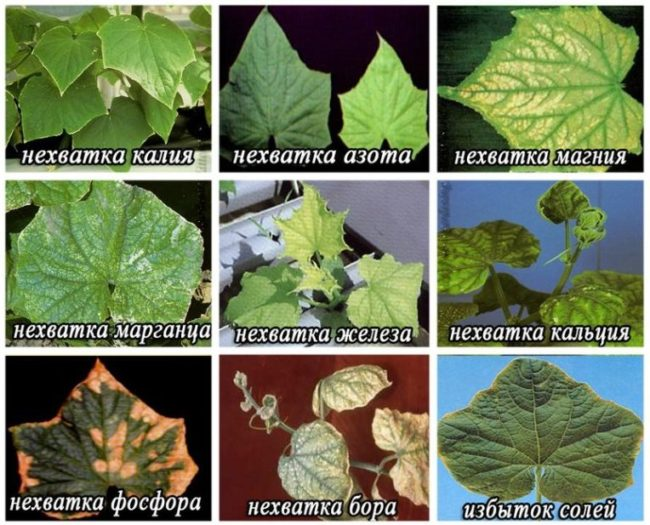 Схема определения нехватки питательных веществ по листу огурца
