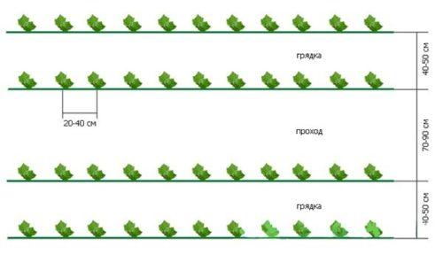 Схема посадки огурцов в две строки при размещении на шпалерах