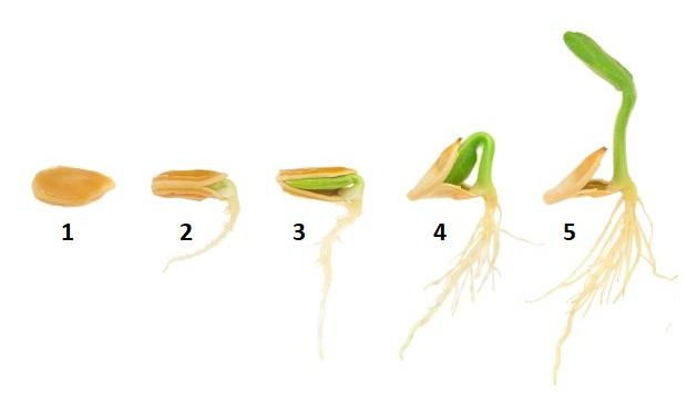 Фазы прорастания и развития семени огурца в условиях парника