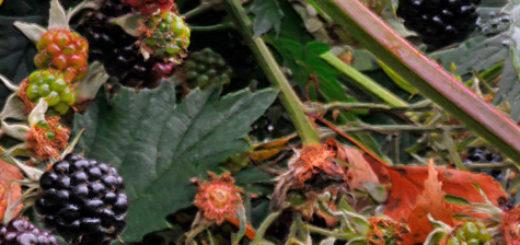 Ежевика в Ленинградской области кусты созревают плоды