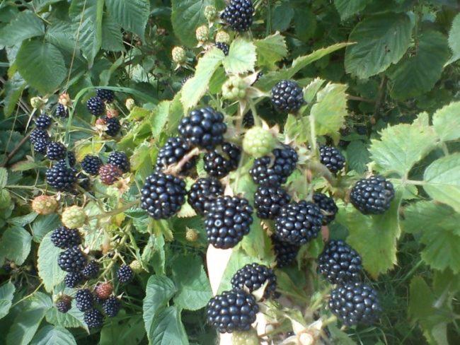 Созревание ягод ежевики сорта Агава в климатических условиях Ленинградской области