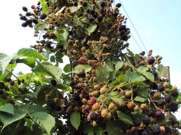 Высокие ветки ежевики сорта Агавам американской селекции с ягодами