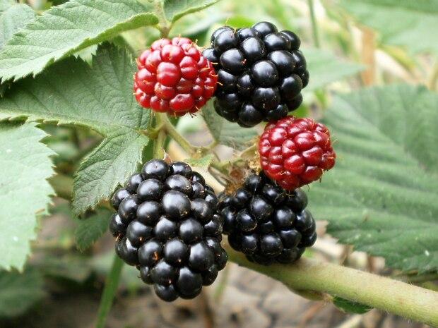 Ветка ежевичного куста с ягодами разной окраски гибридного сорта Гай