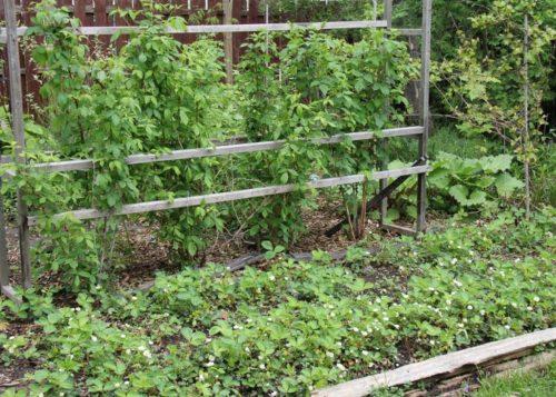 Выращивание росяники на деревянной шпалере в Подмосковье
