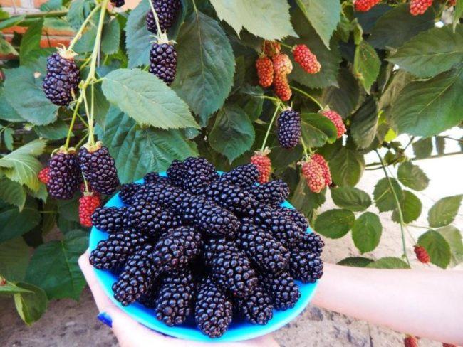 Вытянутые ягоды ежевики американского сорта Натчез в синей тарелке