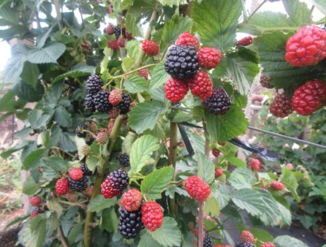 Ветки ежевики на шпалере с ягодами сорта Полар на даче в Ленинградской области