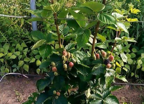 Начало созревания ягод ежевики на кусту с прямыми ветками