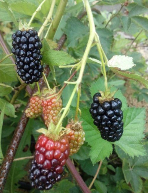 Продолговатые черные ягоды ежевики на ветках куста популярного сорта Рушай