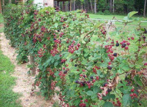 Обильное плодоношение садовой ежевики стелющегося типа