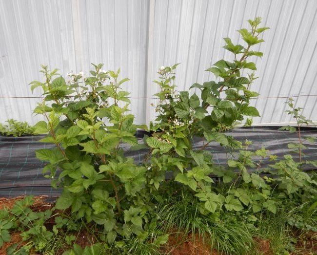Выращивание садовой ежевики вдоль забора из профилированного листа