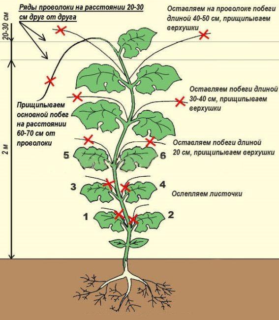 Схема формирования огуречного куста при выращивании на проволочной шпалере в теплице