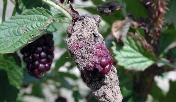 Гнилая ягода ежевики на участке с повышенной влажностью грунта