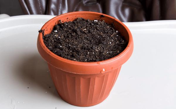 Пластиковый горшок с плодородной землей для посадки косточки сливы