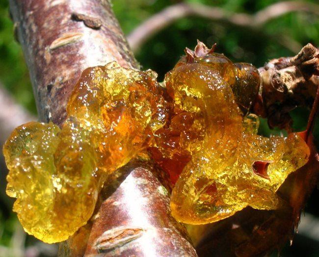 Крупные наросты камеди на ветке сливового дерева в середине лета