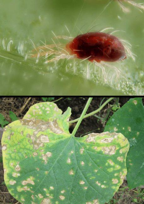 Внешний вид взрослого паутинного клеща и бурые пятна на листе огурца