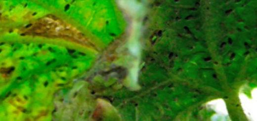 Огромная колония тли на обратной стороне листа огурца во время плодоношения