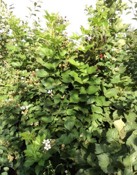 Прямостоячий куст садовой ежевики в начале плодоношения
