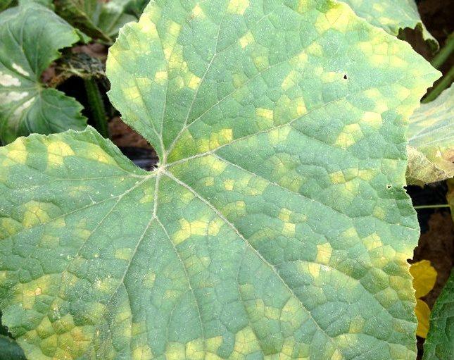 Лист огурца с желтыми пятнами крупным планом при ложной мучнистой росе