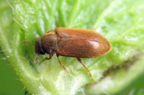 Фото малинного жука крупным планом на листе садовой ежевики