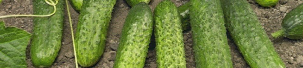 Сорт огурцов Меренга F1 спелые плоды вблизи