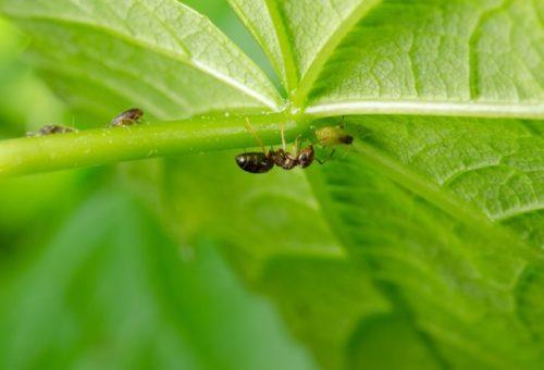 Черный муравей пьет сок из тли на огуречном листе
