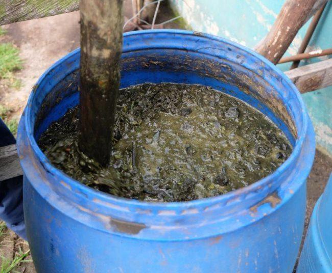 Пластиковая бочка с настоем коровяка для весенней подкормки ежевики