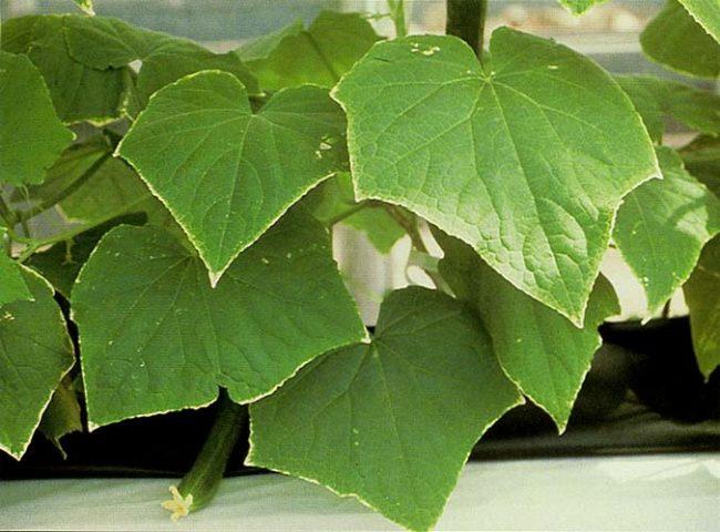 Пожелтение краев огуречных листьев при нехватке калия в питании