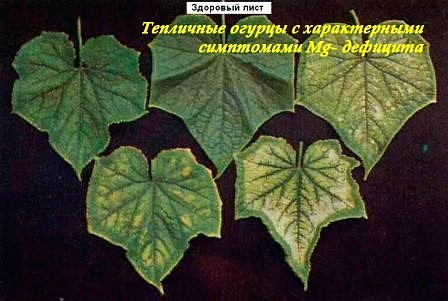 Типичные симптомы дефицита магния на листьях огурцов